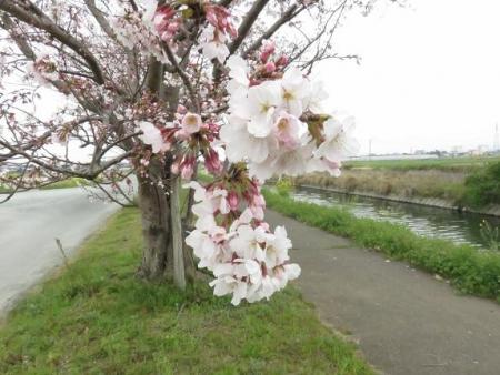 桜花宗川 031