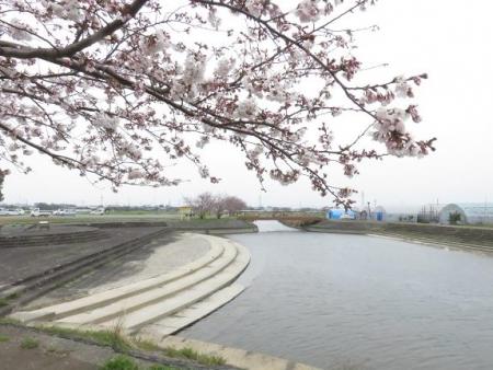 桜花宗川 058