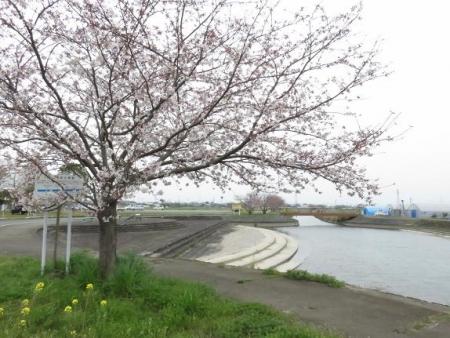 桜花宗川 055