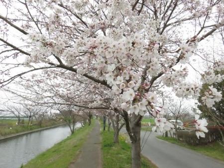 桜花宗川 067