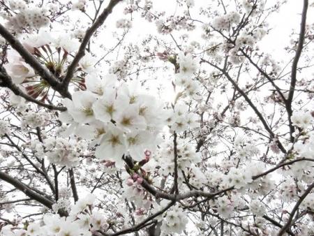 桜花宗川 051