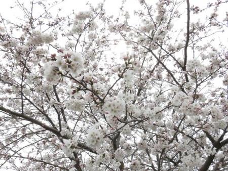 桜花宗川 049