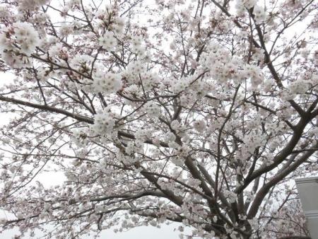 桜花宗川 048