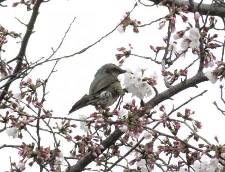 桜花宗川 005