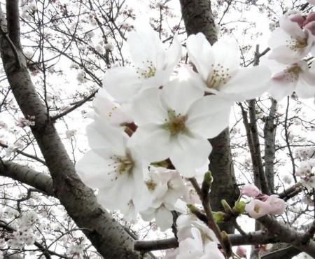 桜花宗川 079