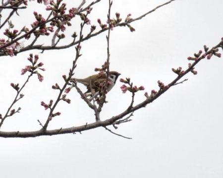桜花宗川 015