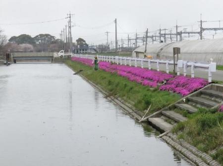 桜花宗川 099