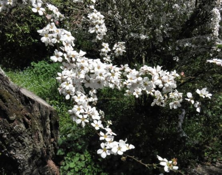 女山竹屋の桜 235