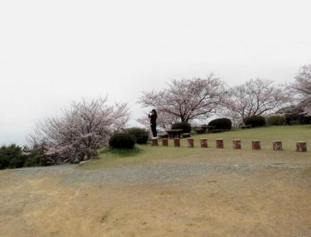 桜満開 174