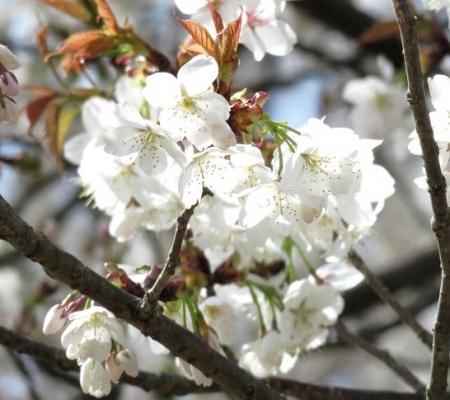 一本桜 049