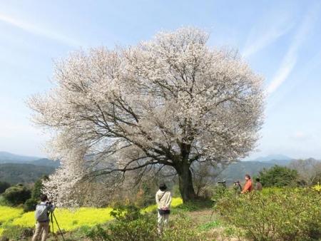 一本桜 012