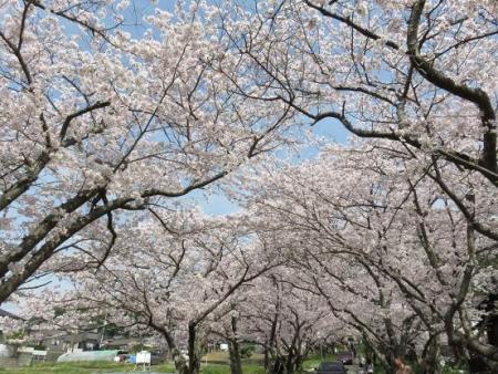 一本桜 115