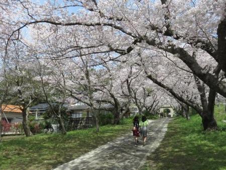 一本桜 124