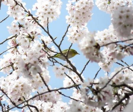 一本桜 128