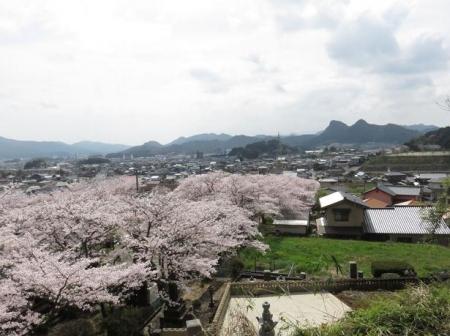 一本桜 138