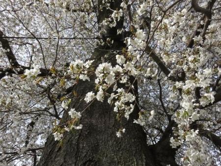 一本桜 210