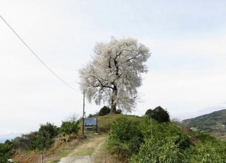 一本桜 182