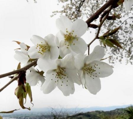 一本桜 231