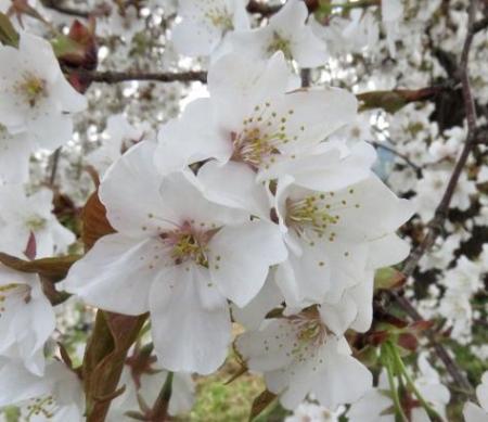 一本桜 196