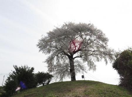 一本桜 192