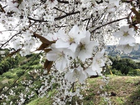 一本桜 198