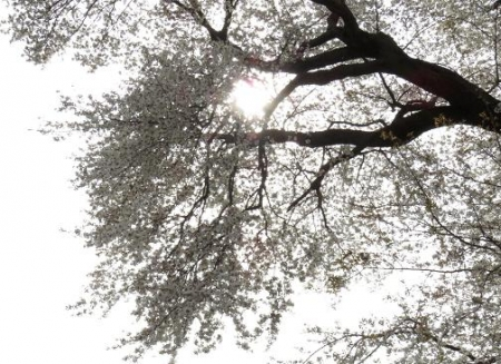 一本桜 191