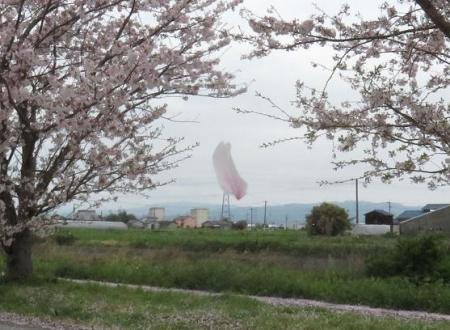 桜とヒヨ・アトリ 009