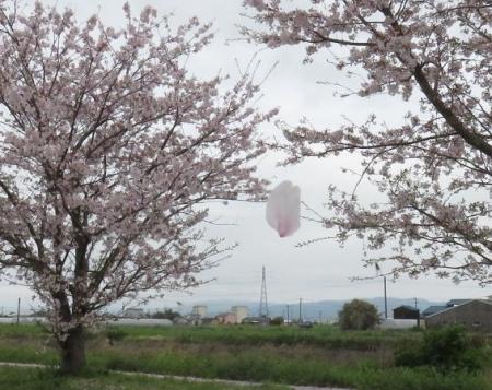 桜とヒヨ・アトリ 011