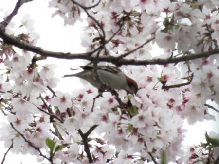 桜とヒヨ・アトリ 029