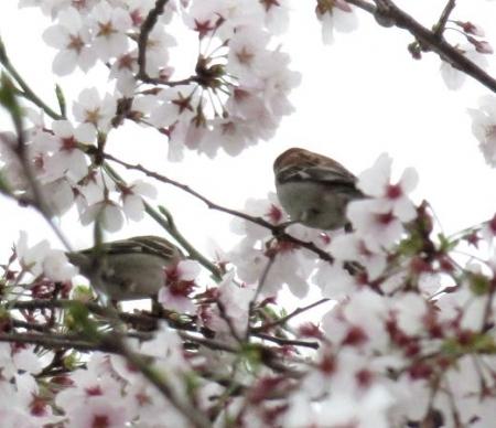 桜とヒヨ・アトリ 028