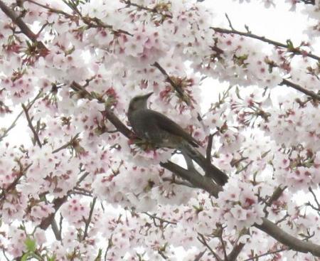 桜とヒヨ・アトリ 005