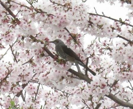 桜とヒヨ・アトリ 002