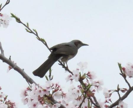 桜とヒヨ・アトリ 001