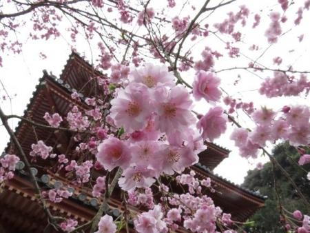 桜満開 125