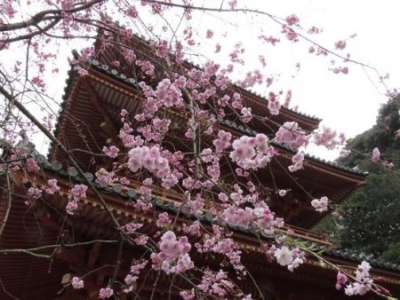 桜満開 123