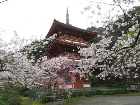 桜満開 118