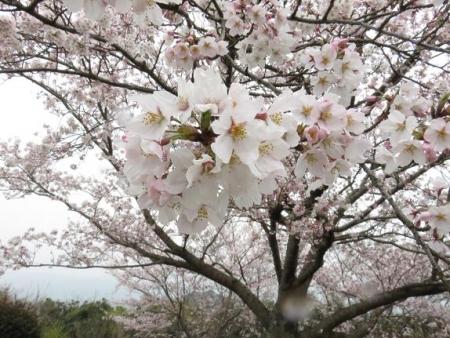 桜満開 197