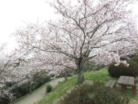 桜満開 200