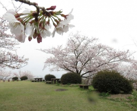 桜満開 192