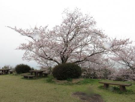 桜満開 196