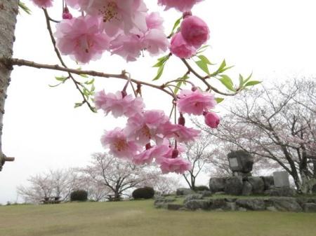 桜満開 186