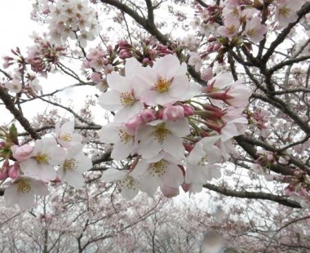 桜満開 201