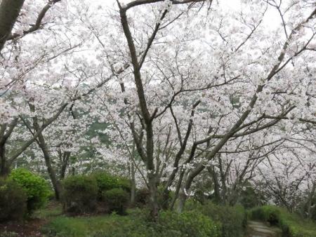 桜満開 042