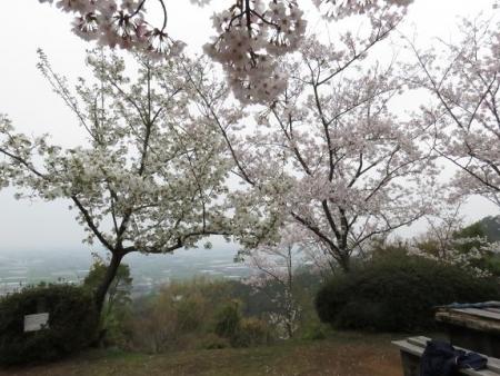 桜満開 043