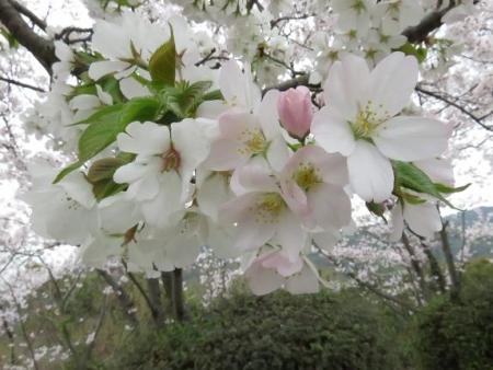 桜満開 049