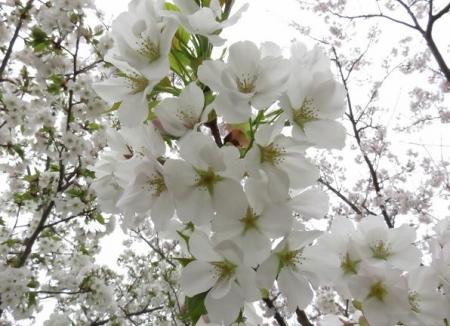 桜満開 047