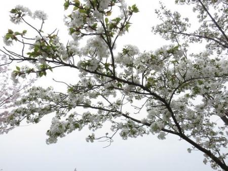 桜満開 044