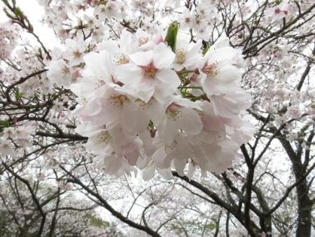 桜満開 087