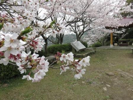 桜満開 083