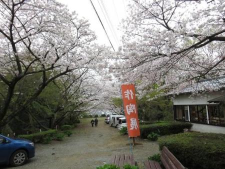 桜満開 137